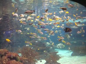 tropical fish in an aquarium tank